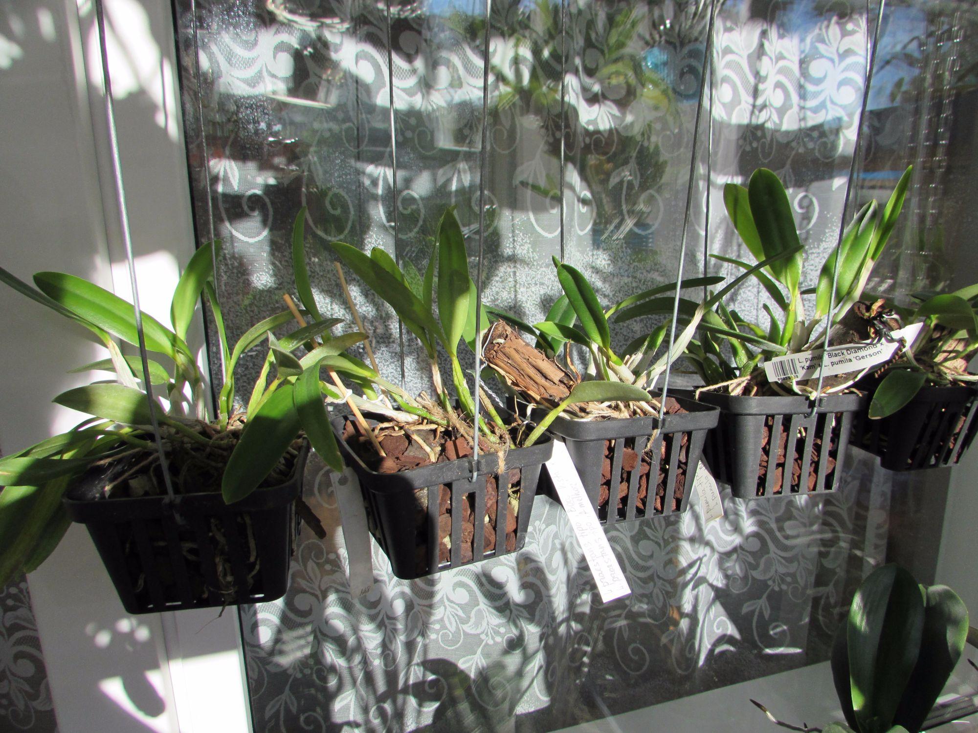 Орхидеи в кашпо с автополивом выращивание 10