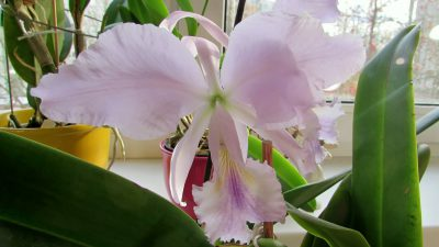 Cattleya labiata coerulea violeta 'Lourival' x Cattleya labiata coerulea 'Vera Micelli' AWZ
