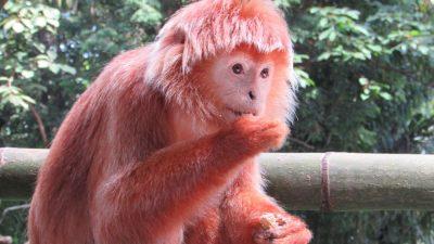 Зоопарк Сингапура: как живут обезьяны?
