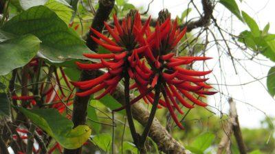 Эритрина, или Коралловое дерево