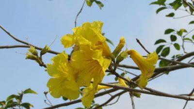 Табебуйя золотистая (Tabebuia chrysotricha)
