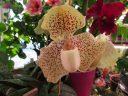 Paphiopedilum leucochilum #