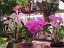 Осень 2018: коллекция Cattleya labiata