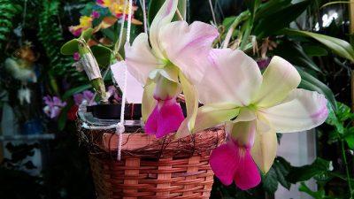 Cattleya walkeriana var. semi-alba flamea 'Tokutsu'