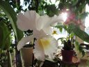 Cattleya trianae alba XXXX x Cattleya trianae amoena 'Rainha'