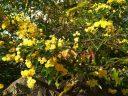 Желтая роза 'Леди Бэнкс'