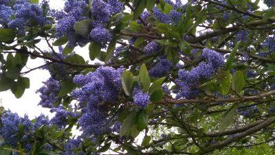Цеанотус, голубое дерево