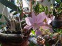 Cattleya walkeriana var. coerulea