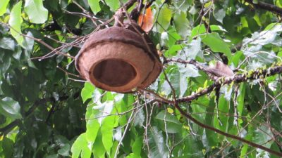 Дерево «обезьяний горшок»