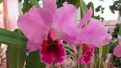 Cattleya percivaliana (H&R Nurseries)
