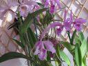 Праздник Cattleya maxima 2020